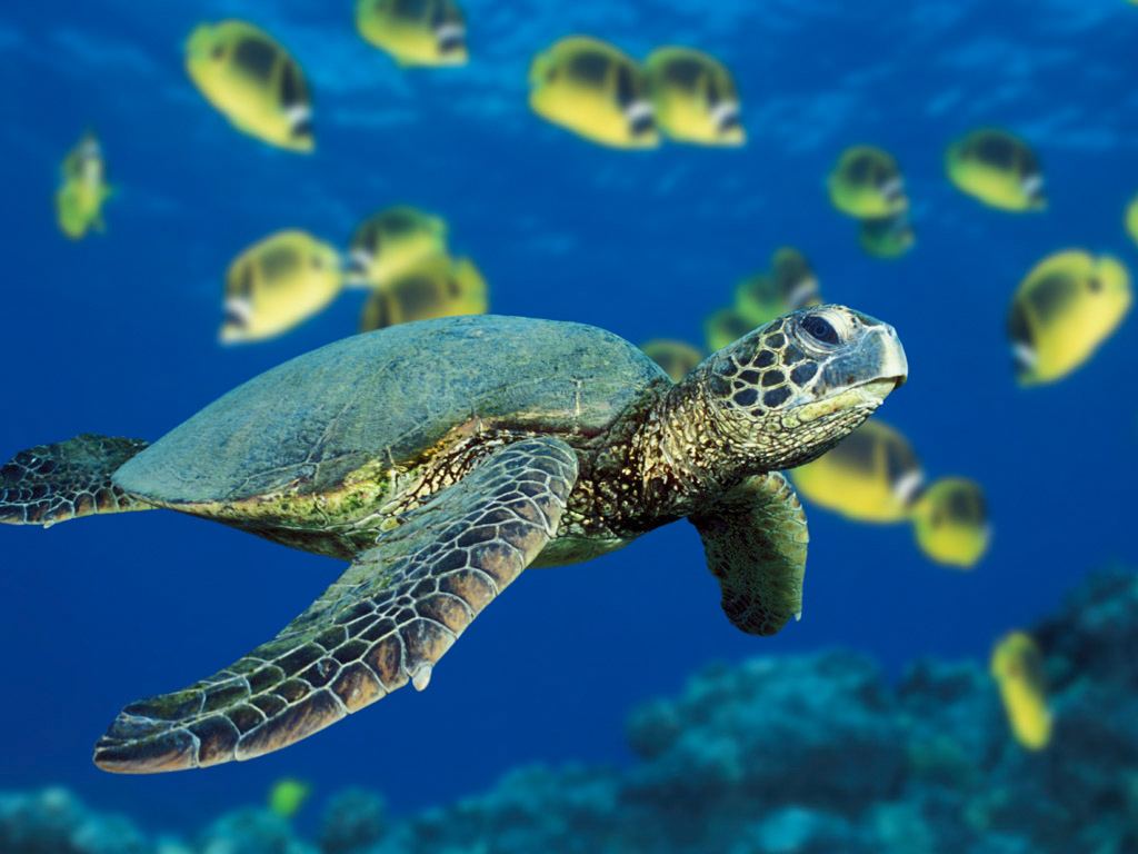 Green%20sea%20turtle.full