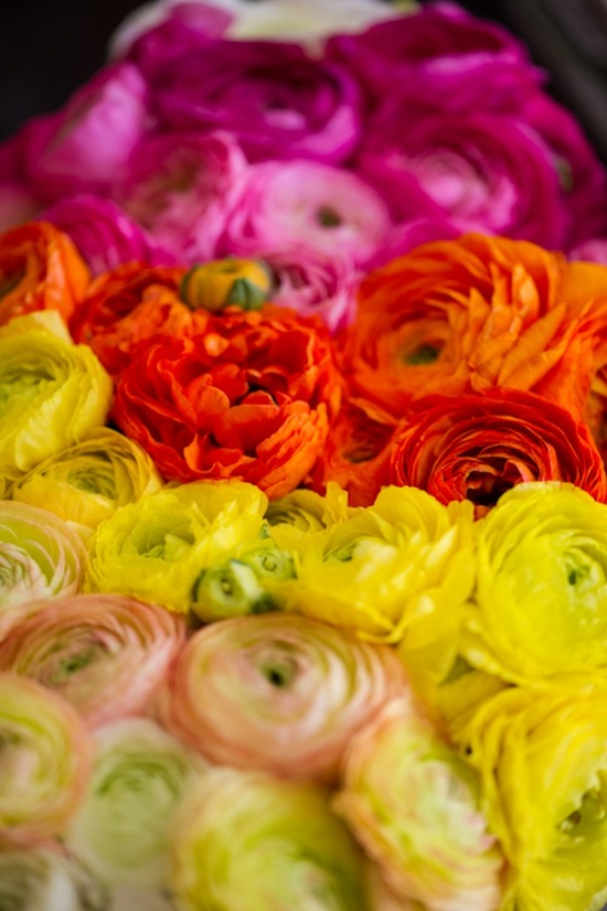 yellow orange pink ombre ranunculus