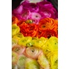 Yellow-orange-pink-ombre-ranunculus.square