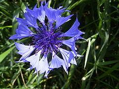 240px-centaureacyanus-bloem-kl.full