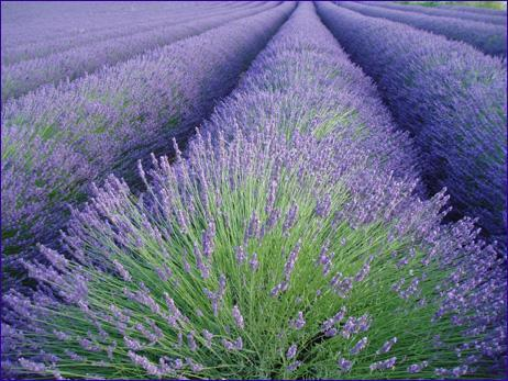 Lavender_ceremony_and_reception.full