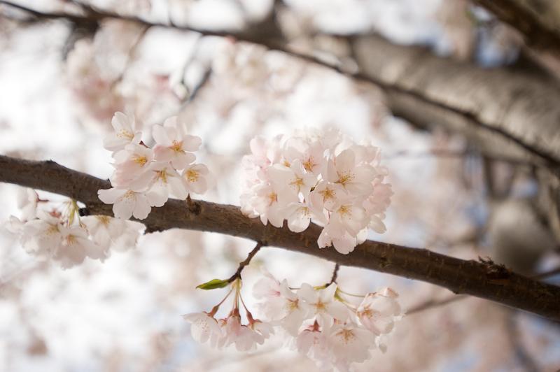Delicate-cherry-blossom-wedding-flowers.full