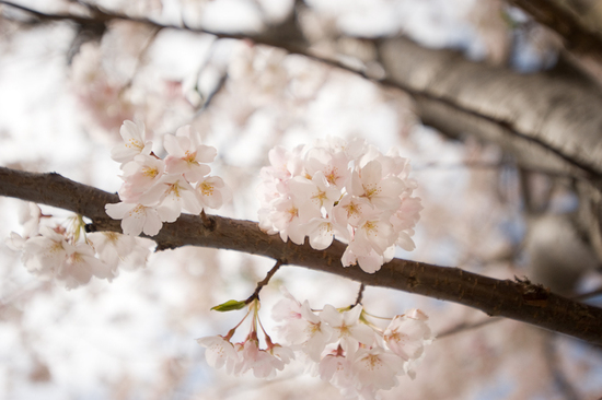 Delicate cherry blossom wedding flowers