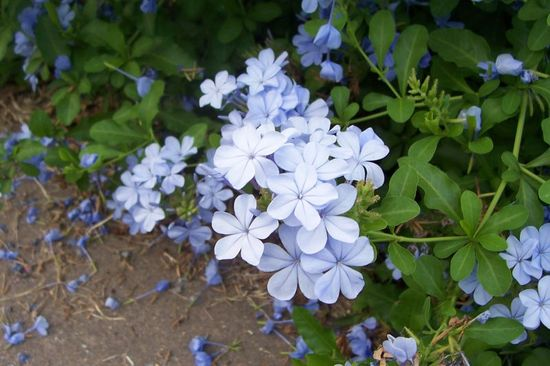 plumbago wedding flowers light purple for summer