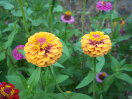 gorgeous zinnia split wedding flowers