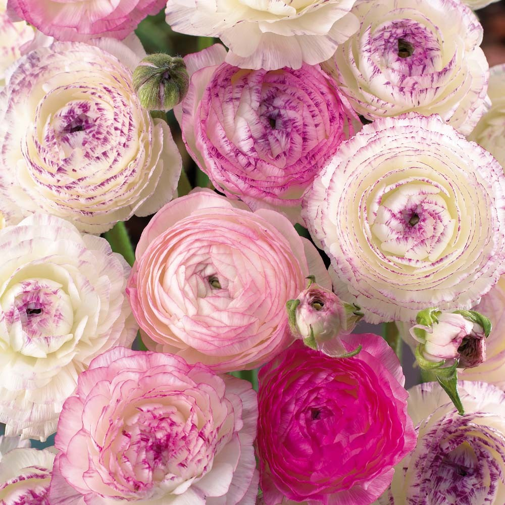 Wedding-flowers-pink-and-ivory-ranunculus.full