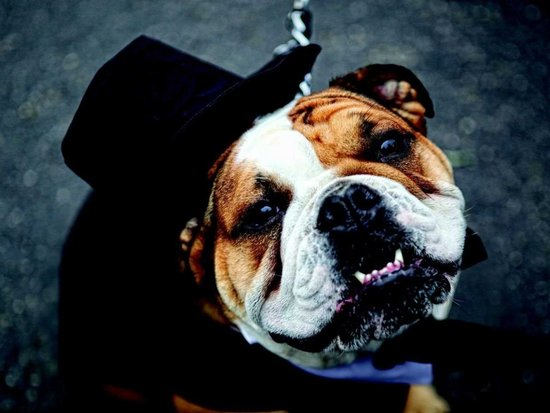 photo of English bull dog all dressed up for the wedding