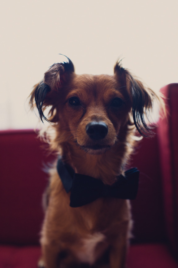 Sweet little ring bearer pup wearing a bow tie