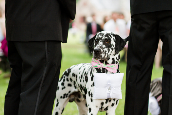 Adorable dalmation serves as wedding ceremony ring bearer