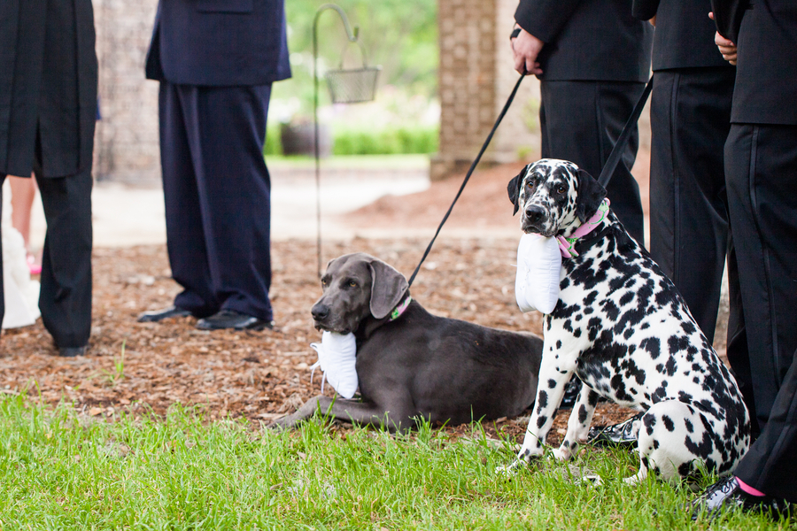 Double-trouble-wedding-ring-bearer-dogs.full