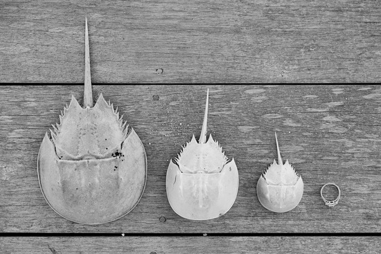 Horseshoe crabs and engagement ring shot