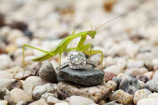 Pray_mantis_and_engagement_ring_shot.medium_large
