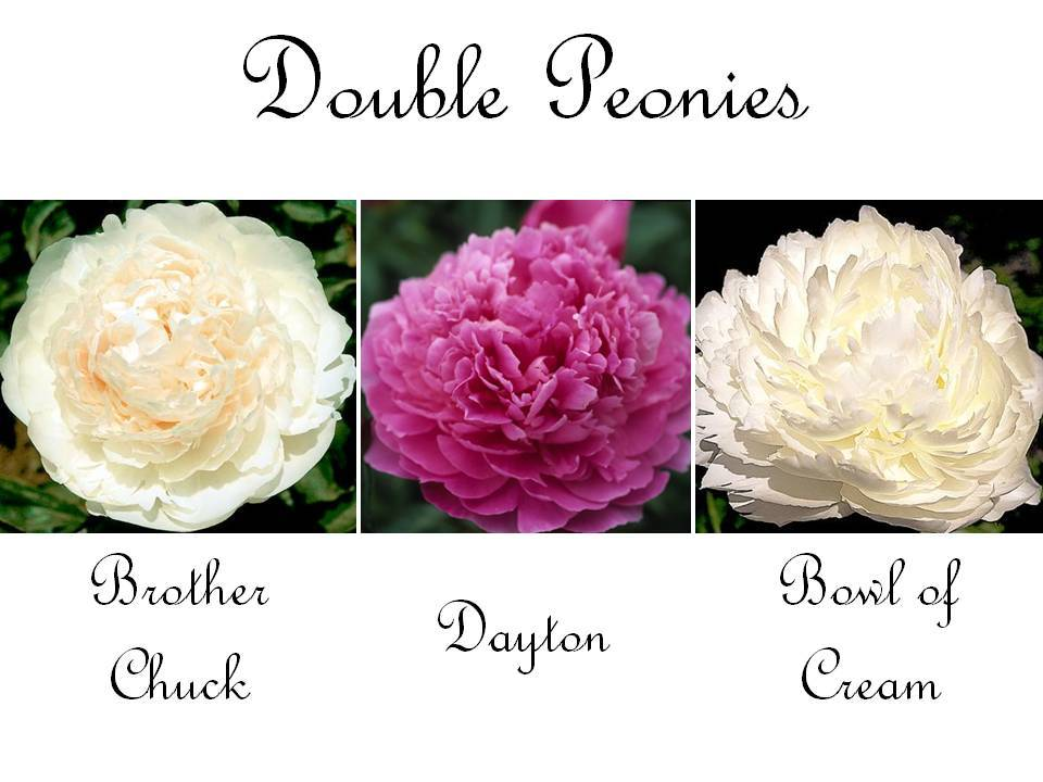 Romantic-wedding-flowers-double-peonies-pink-ivory-white.full
