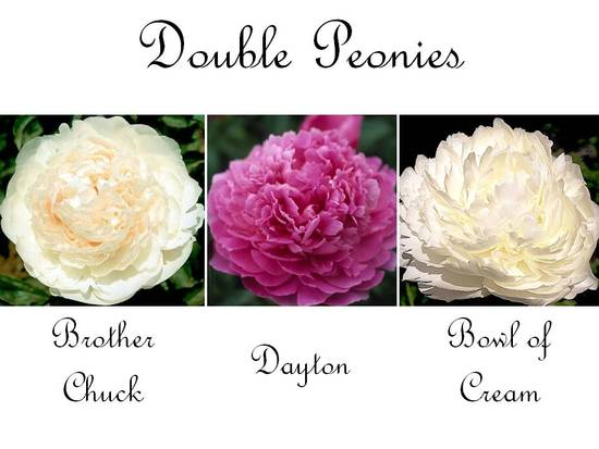 Full ivory, cream, and pink double peony wedding flowers