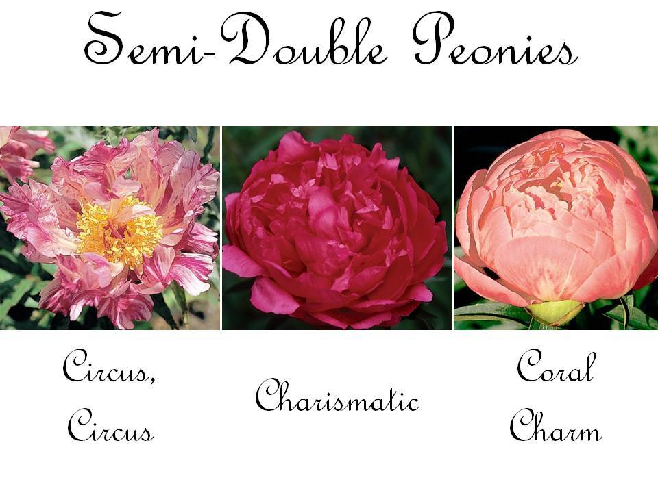 Hot pink, deep red, and coral semi-double peonies for your wedding