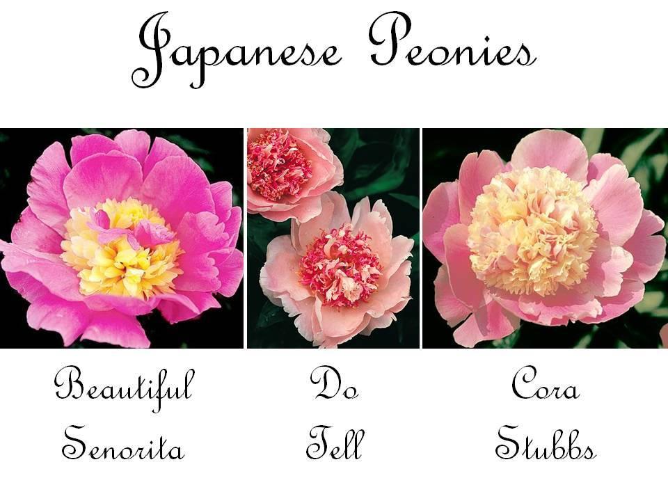 Japanese-peonies-pink-wedding-flowers-romantic.full