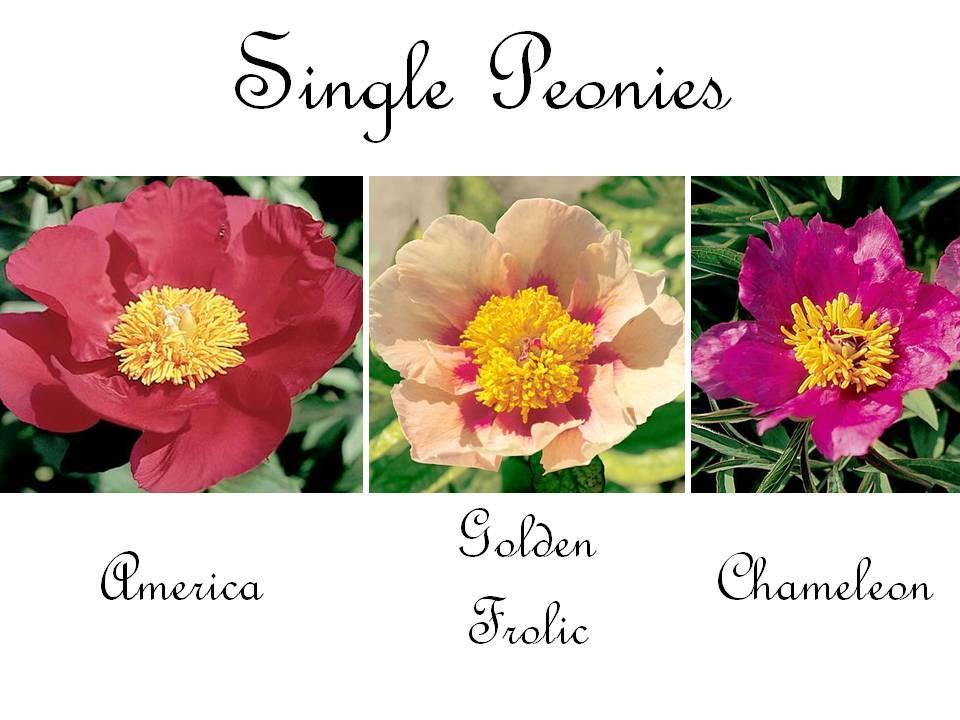Romantic-wedding-flowers-single-peonies-red-pink.full