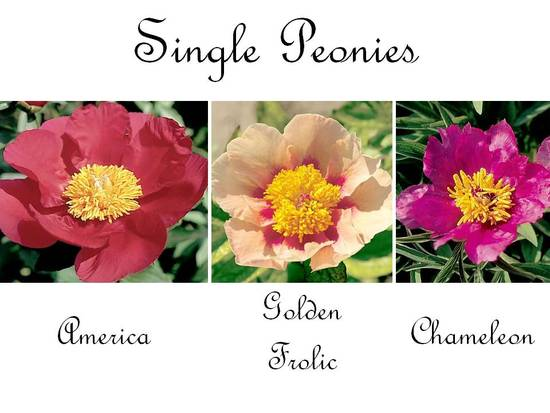 Single peonies are the most delicate, perfect for a romantic garden wedding