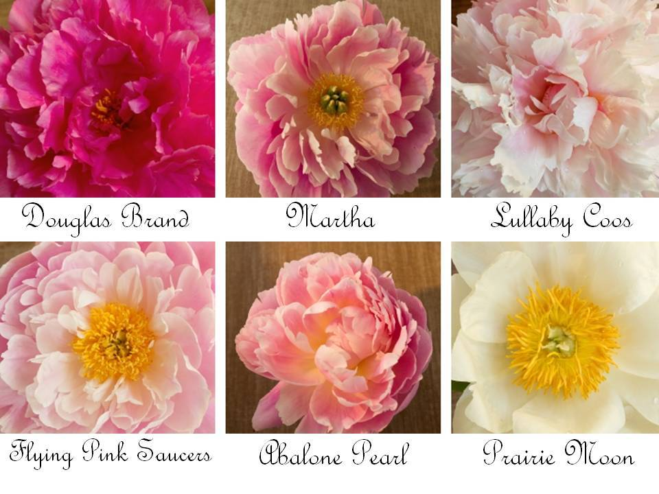 Romantic wedding flowers- peonies in shades of ivory, pink, coral, and yellow