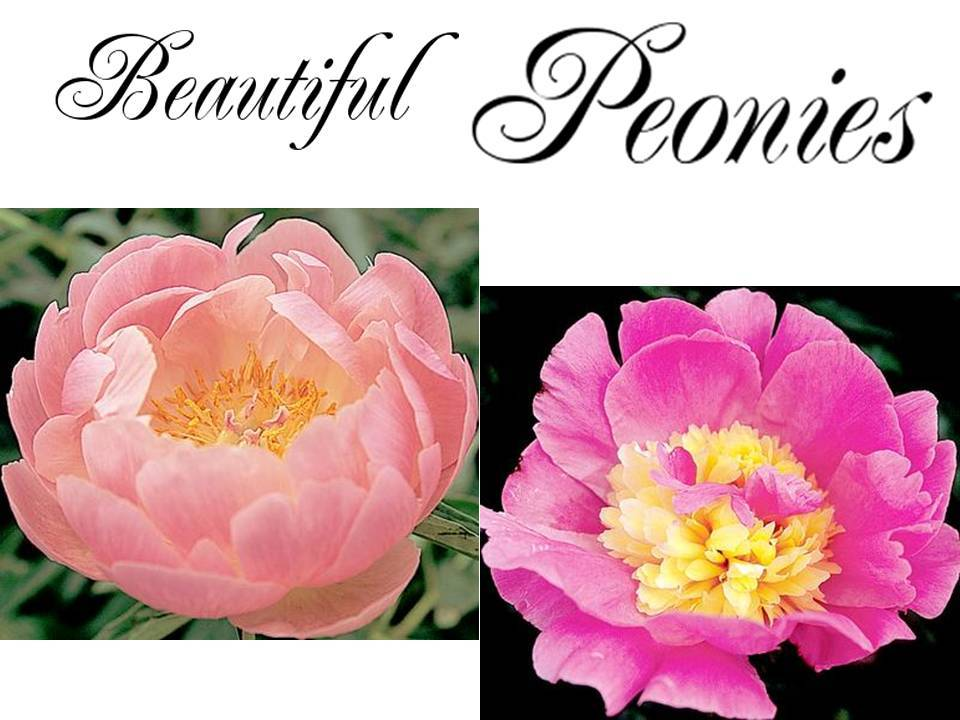 Peony-wedding-flowers-pink-romantic-yellow-center.full