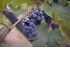New-hampshire-winery-wedding-vineyard-grapes-photographed-with-diamond-wedding-bands-engagement-rings.square