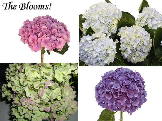 Anna Paquin, Stephen Moyer wedding details- white, purple, pink, green hydrangeas for wedding flower