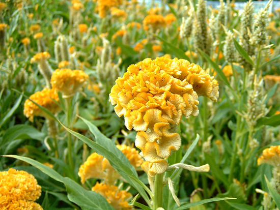 Vibrant yellow fresh Cockscomb Celosia flowers