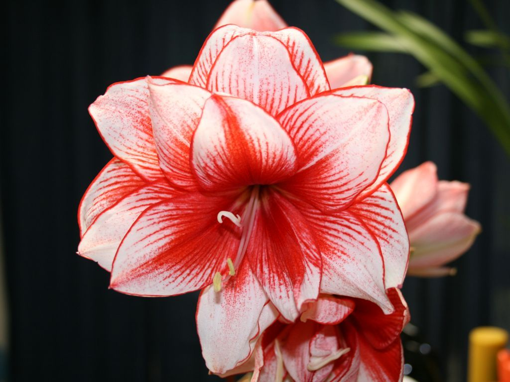 Gorgeous red and white amaryllis, perfect for a holiday soiree or Asian-themed wedding