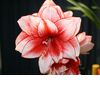 Red-white-amaryllis-wedding-flowers-winter-wedding.square
