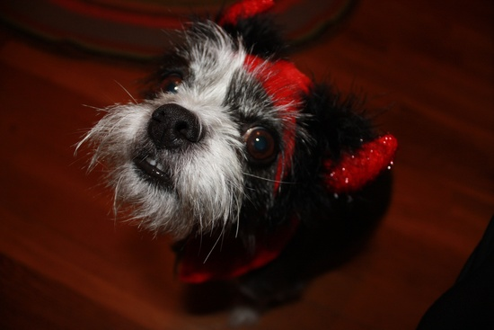 Will the dog wear this doggy devil costume on Halloween?