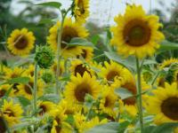 Sunflowers_3.full