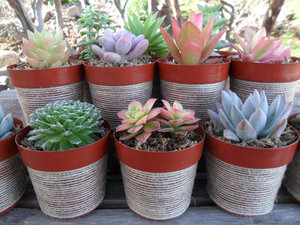 photo of Burlap wrapped succulent plants
