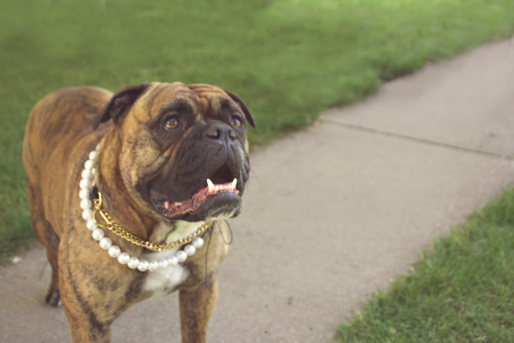 dapper wedding accessories for your dog pearl necklace