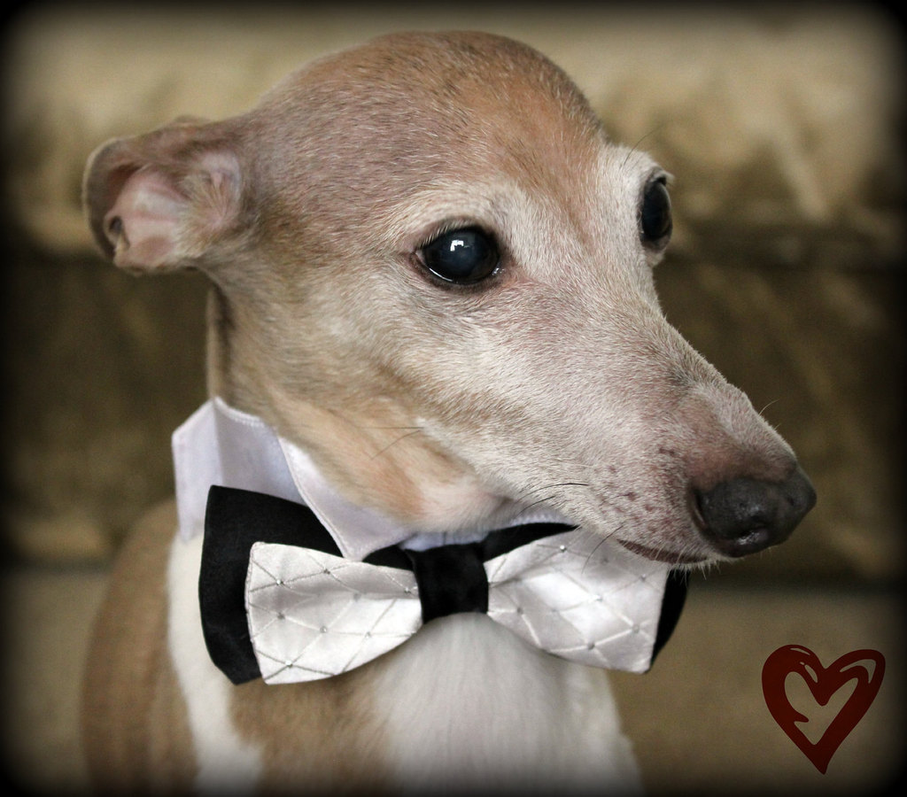 Adorable-wedding-attire-accessories-for-the-little-ones-in-the-wedding-dogs-black-white-glitter-bow-tie.full