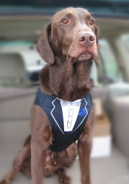 adorable wedding attire accessories for the little ones in the wedding dogs best man tux vest