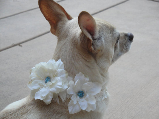 adorable wedding attire accessories for the little ones in the wedding dogs white blue floral collar