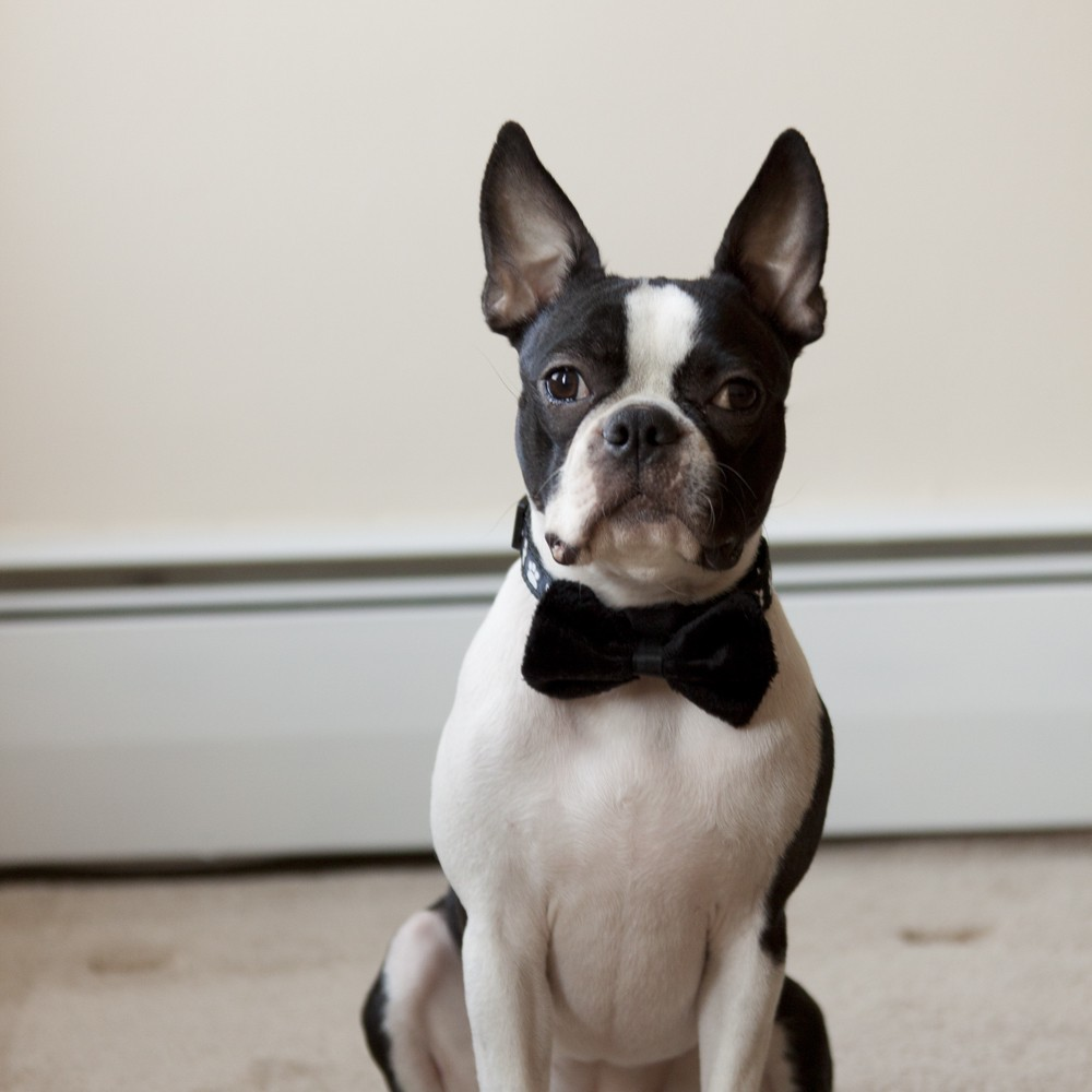 Adorable-wedding-attire-accessories-for-the-little-ones-in-the-wedding-dogs-bow-tie-black.full