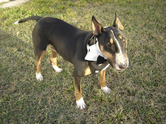 adorable wedding attire accessories for the little ones in the wedding dogs tuxedo 2